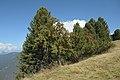 Vogelbeerenbaum auf Pitzberg Seiseralm.jpg