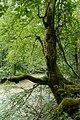 Vordere Tormäuer Fagus sylvatica 02.jpg