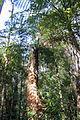 Waipoua Forest, ferns.jpg