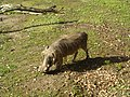 Warthog @ San Francisco Zoo (4436356517).jpg