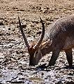 Waterbuck (Kobus ellipsiprymnus) male drinking ... (50216847033).jpg