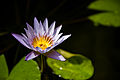 Waterlily (2560409812).jpg