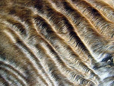Wavy fur of a Devon Rex cat.jpg