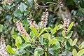 Weinmannia racemosa in West Coast Region 01.jpg