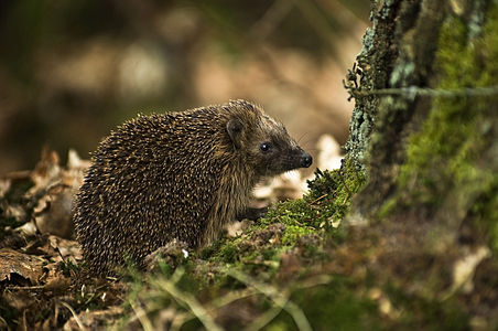Erinaceus europaeus, west european hedgehog