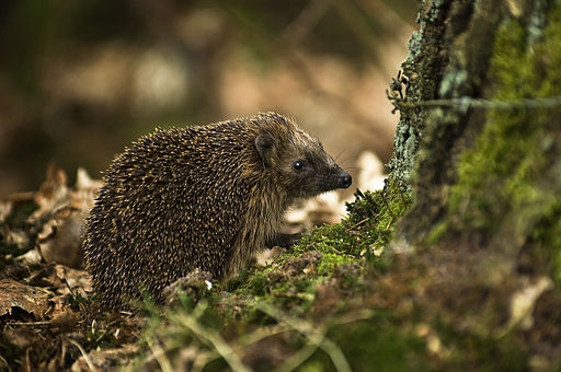 West European Hedgehog (Erinaceus europaeus)1