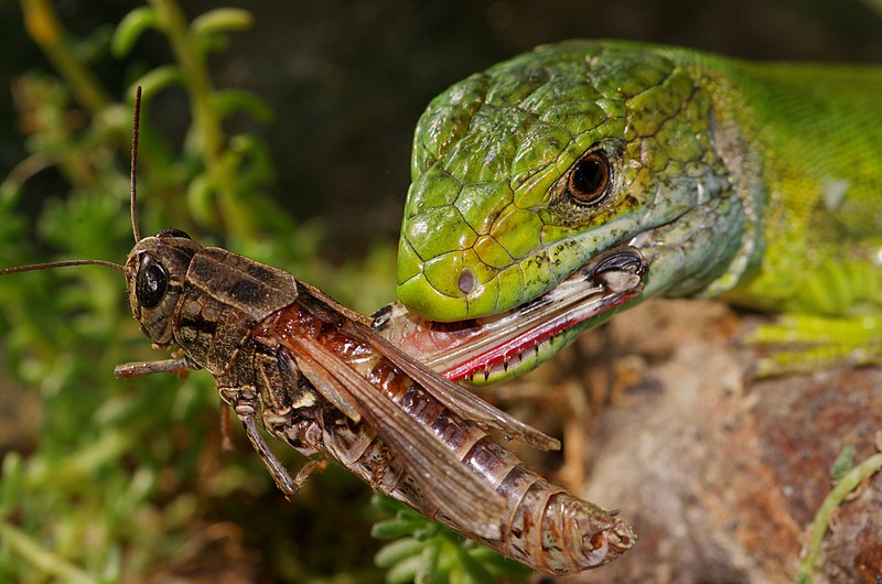 File:Western Green Lizard.jpg