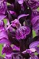 Western Marsh Orchid - Dactylorhiza majalis (14537844139).jpg