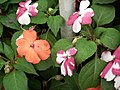 Wheel Balsam from Lalbagh flower show Aug 2013 8010.JPG