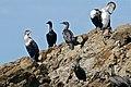 White-breasted Cormorants (Phalacrocorax lucidus) and Cape Cormorants (Phalacrocorax capensis) (32506968510).jpg