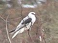 White-tailed Kite Oregon1.jpg