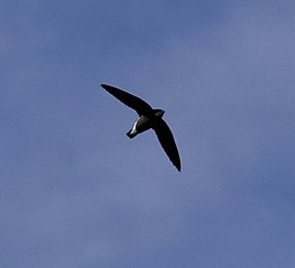 White-throated Needletail 09.jpg