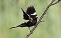 White-winged widowbird, Euplectes albonotatus, male, at Dinokeng Game Reserve, Gauteng-Limpopo, South Africa (16381917052).jpg