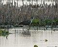 White Ibis, Pte. Mouillee SGA, Vermet Unit, July 22, 2012 (7627402388).jpg