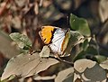 White Orange Tip (Ixias marianne) at Hodal Iws IMG 1173.jpg