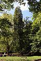 Wien-Penzing - Naturdenkmal 27 - Dehnepark - Kalifornische Flusszeder (Calocedrus decurrens).jpg