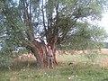 Wierzba rosochata - panoramio.jpg