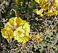 Wild Pomegranate (Rhigozum obovatum) yellow flowers ... (32631235262).jpg