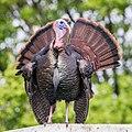 Wild Turkey -91 100- (26823792789).jpg
