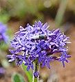 Wild Verbena (Pentanisia prunelloides) (32493461916).jpg