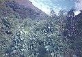 Wild cherimoyas Vilcabamba Ecuador.jpg