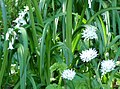 Wild garlic and white bluebells (4652234215).jpg
