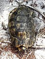 Wildfire burnt Angulate tortoise - fire damage.jpg