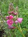Wildflowers, saddle mountain (732454571).jpg