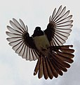 Will wagtail flight.JPG
