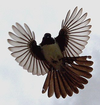 Willie wagtail - In flight