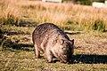 Wombat in Wilson Prom.jpg