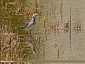 Wood Sandpiper (Tringa glareola) (27827163891).jpg