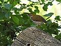 Wood Thrush (44323218864).jpg