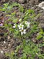 Xanthoceras sorbifolium (17125878307).jpg