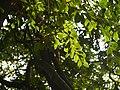 Xantolis tomentosa (8197301236).jpg