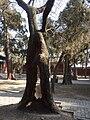 Yan Miao - northern courtyard - old tree- P1050520.JPG