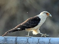 Yellow-headed Caracara RWD2.jpg