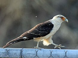 Yellow Headed Caracara Wikipedia