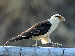 Yellow-headed caracara - Image: Yellow headed Caracara RWD2