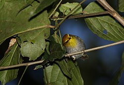 Yellow-throated woodland warbler, Phylloscopus ruficapilla, at Seldomseen, Vumba, Zimbabwe (21352590943).jpg