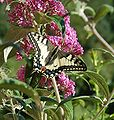 Yellow Butterfly 2.jpg