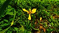 Yellow Tripetal Flowers Found in Curug Nangka, Taman Nasional Gunung Halimun Salak, West Java.jpg