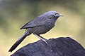 Yellow billed babbler Mudumalai.jpg