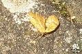 Yellow shell (BG) (7453423782).jpg