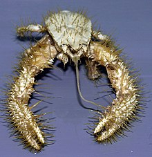 Kiwa hirsuta - Wikipedia