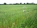 Young wheat near Caerwents - geograph.org.uk - 833663.jpg