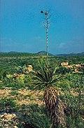 Yucca constricta fh 1180.67 TX B.jpg