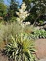 Yucca filamentosa 'Color Guard'-IMG 5551.jpg