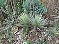 Yucca harrimaniae fh 1178.30 UT in cultur B.jpg
