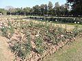 Zakir Hussain Rose Garden,Chandigarh in spring 2017 04.jpg